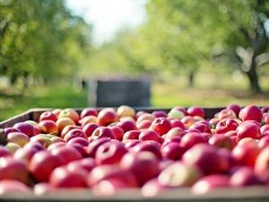 На 10% подешевели яблоки в Нижегородской области