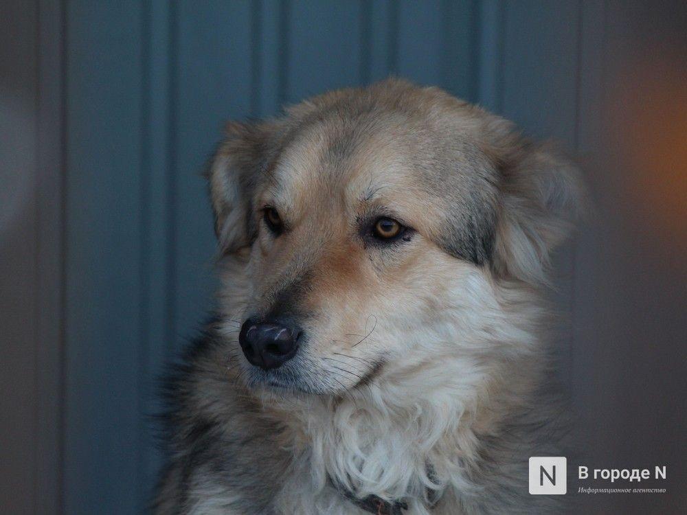 Догхантеры в Нижнем Новгороде: что им грозит и как обезопасить свою собаку - фото 3