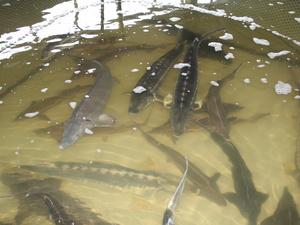 Производство рыбы в Нижегородской области увеличится в 1,5 раза