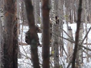 Медведи вышли из спячки и отправились искать еду в Керженском заповеднике