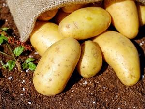 Нижегородская область экспортировала зараженный картофель