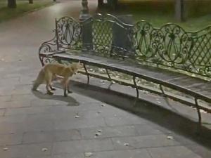 Лиса бегала у фонтана в центре Нижнего Новгорода