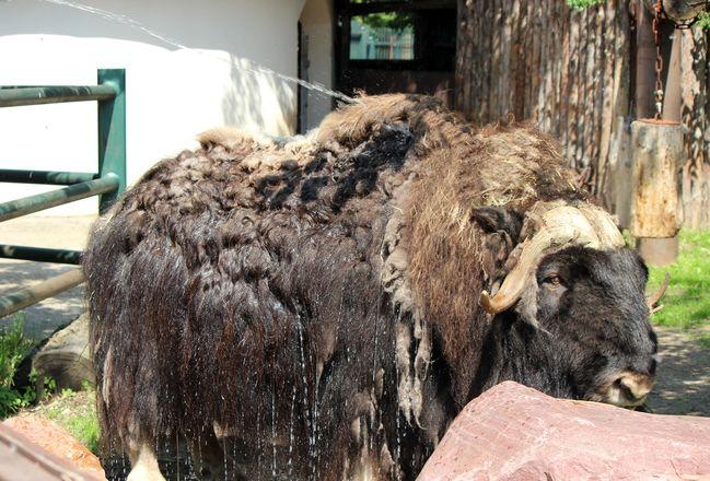 Фруктовым людом кормят животных нижегородского зоопарка из-за аномальной жары - фото 2