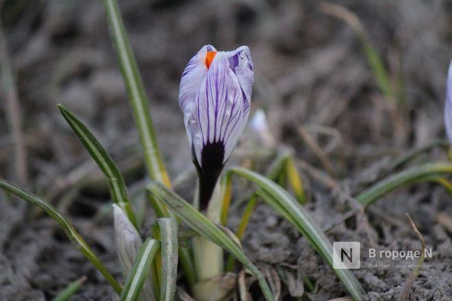 Первые цветы распустились в Нижнем Новгороде - фото 6
