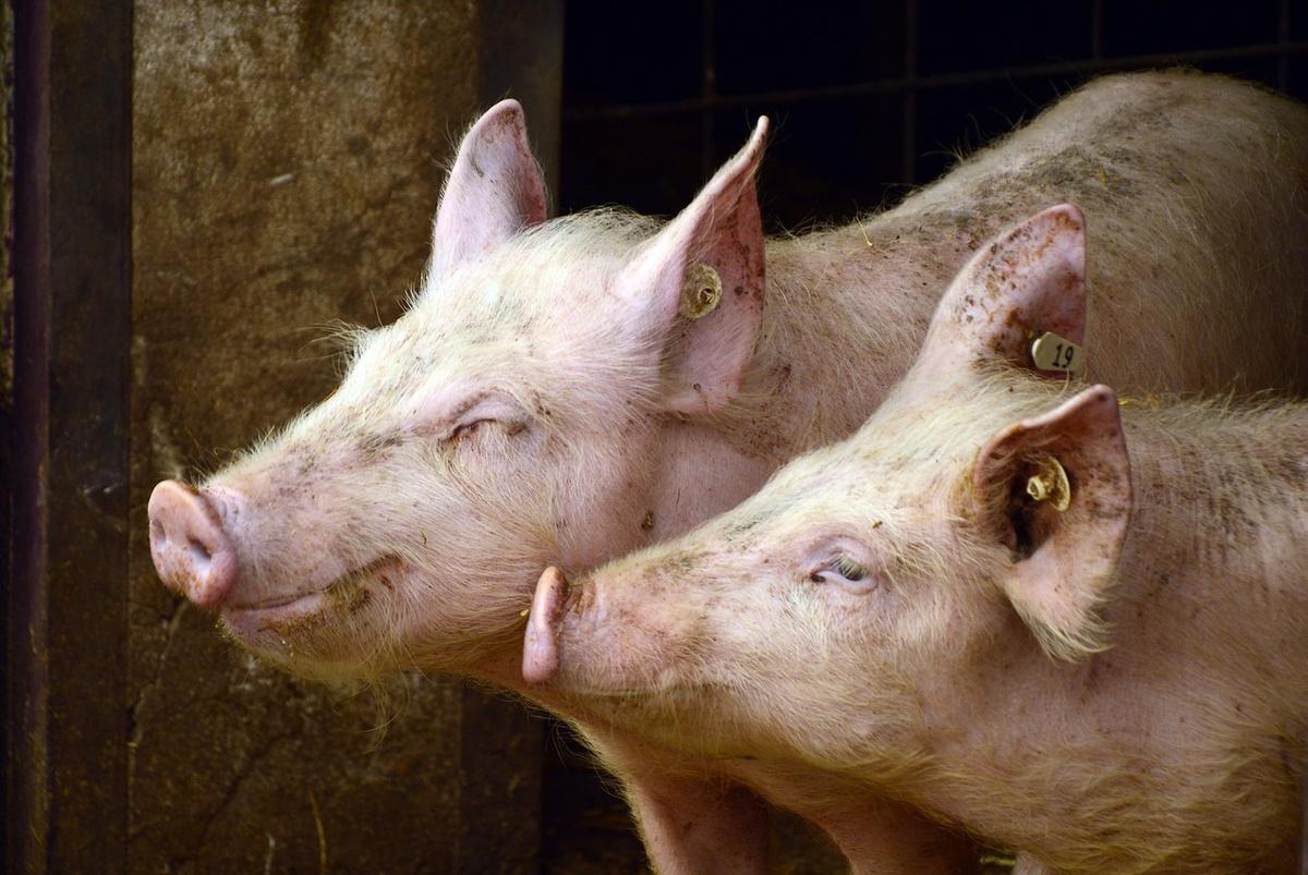 Очаги африканской чумы свиней в Княгинине и Саконах ликвидированы - фото 1