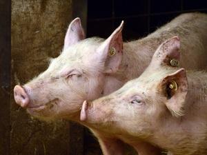 Очаги африканской чумы свиней в Княгинине и Саконах ликвидированы